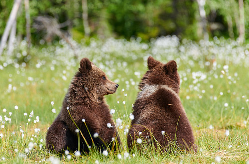 Two young bears in the middle of flowers
