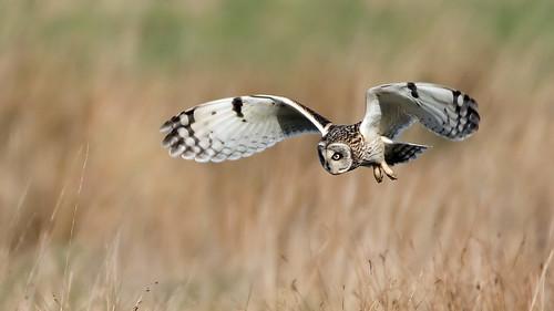 Short-eared Owl (Explore)