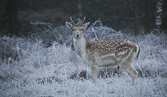 Young Fallow Pricket in WInter