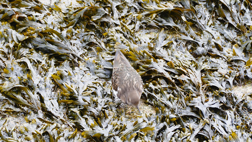 Turnstone in exposed seaweed, St Ives beach