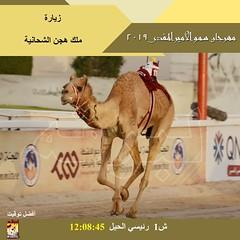 صور سباق الحيل والزمول (الأشواط المفتوحة) مهرجان سمو الأمير المفدى صباح 9-4-2019