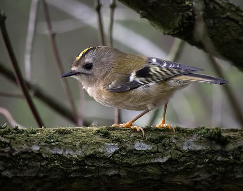 Goldcrest - Britain's smallest bird