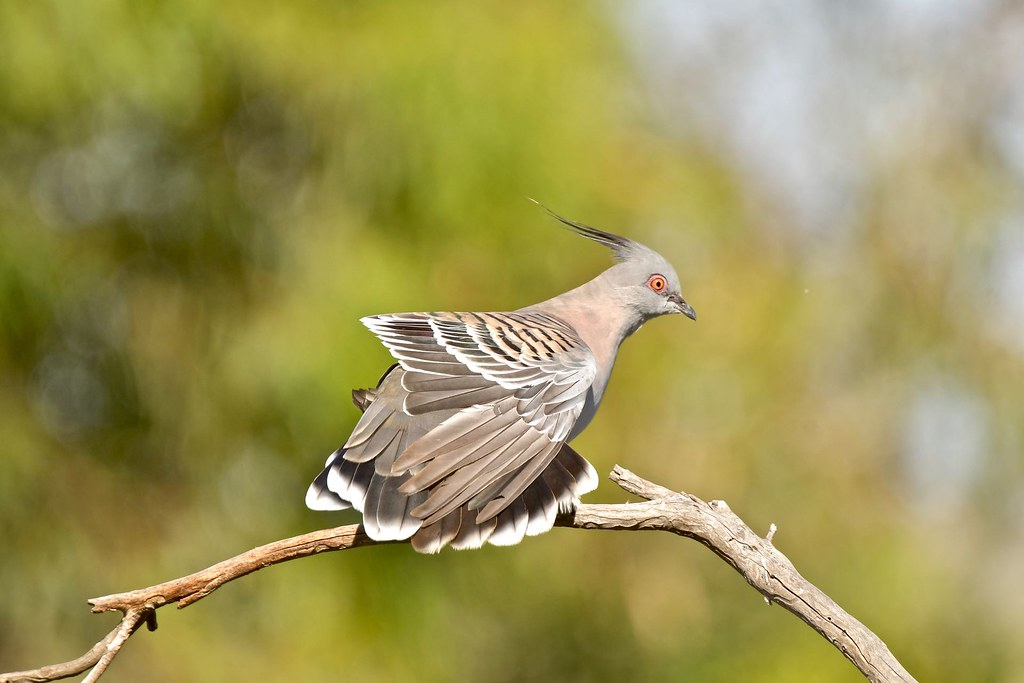 Crested Pigeon ( just a ruffled look )