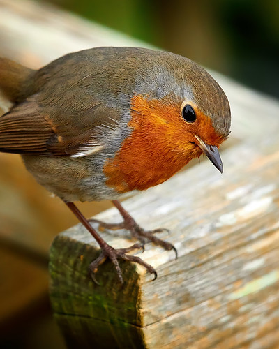 RED ROBIN READY TO POUNCE ON PREY | by Robin Procter