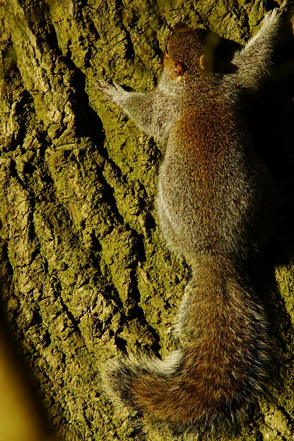 DSC07107 - Grey Squirrel, Sony ILCA-77M2, Sony 500mm F4 G SSM (SAL500F40G)