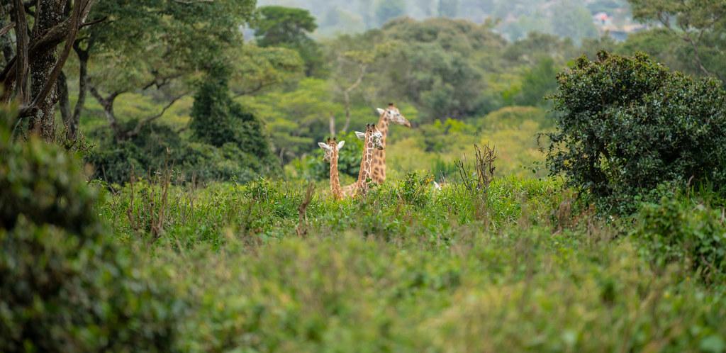Giraffe_13