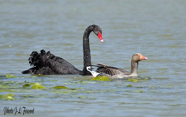 Cygne noir ( Cygnus atratus - Black Swan ) avec une oie cendrée