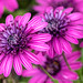 Osteospermum Patch, 3D Purple, 4.10.18