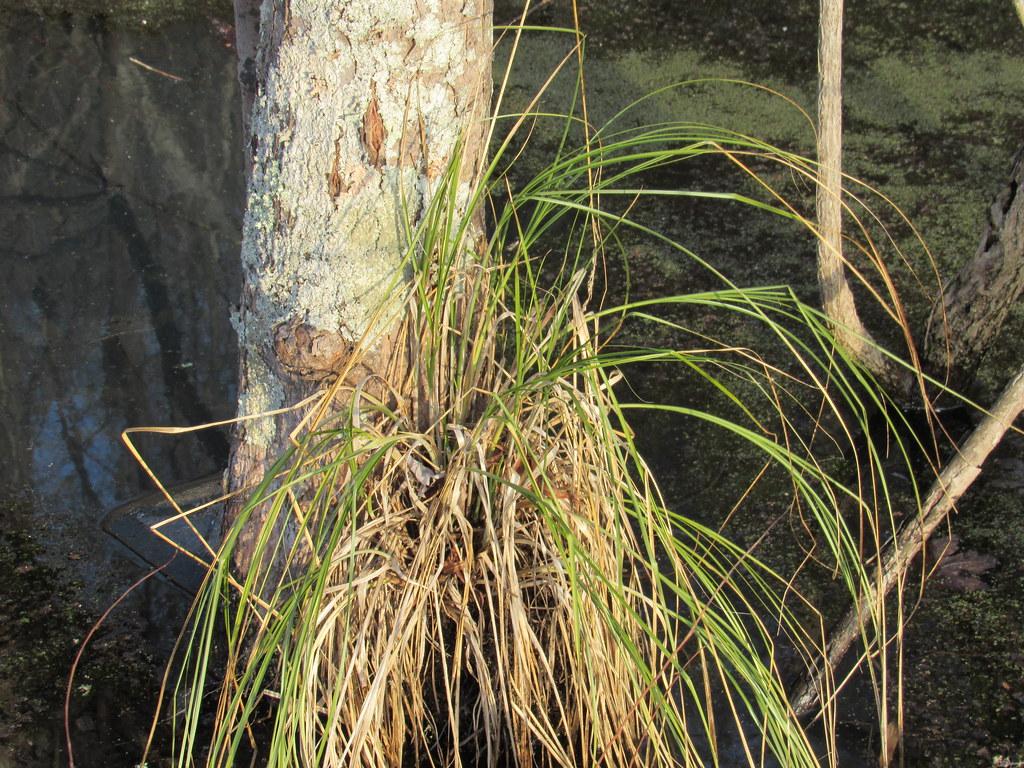 Cypressknee Sedge