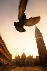Bird in St Mark's Square in Venice