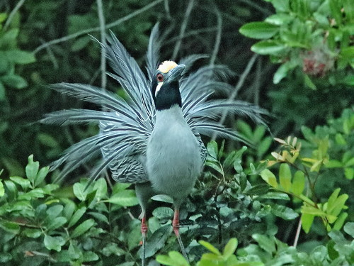 Yellow-crowned Night-Heron courtship 065132AM 20190225