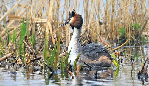 GREAT CRESTED GREBE EXPLORED