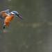 Kingfisher 190323202.jpg