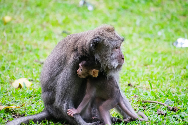 macaque of monkey temple-2