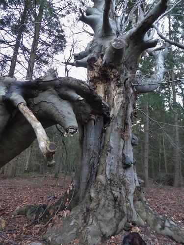 The old beech broke down Rysterbosk