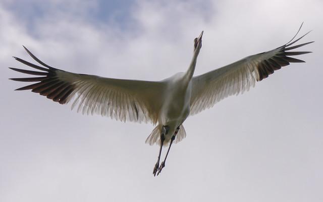 Whooping Crane - 2 - 1
