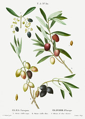Olive (Olea europaea) illustration from Traité des Arbres et Ar
