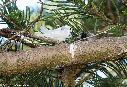 White Tern - with chick