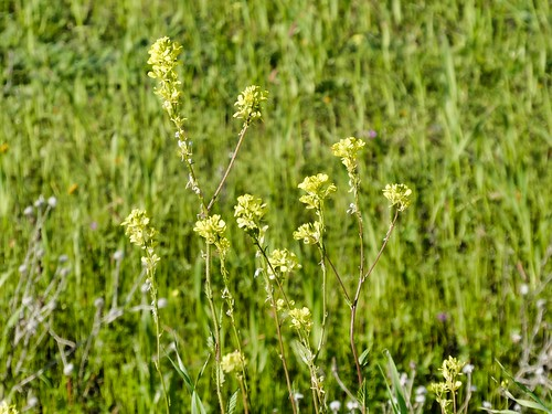 2019-03-18 - Nature Photography - Plants - Yellow Mustard Seed Plant