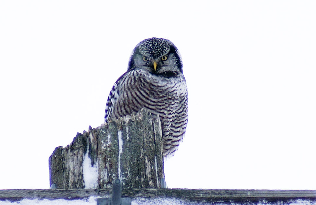 Hawk owl (1 of 1)