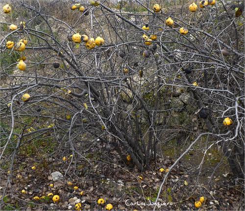 membrilleros en Ferez - invierno