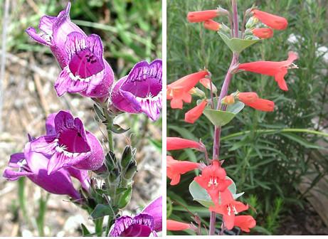 Penstemon pollination
