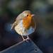 Dunham Robin