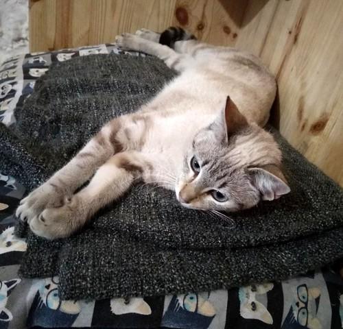 Teryl, preciosa gata siamesa tabby esterilizada nacida en Septiembre´18, en adopción. Valencia. ADOPTADA. 46503505994_b0d30614bc