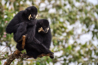 Northern white-cheeked gibbons, Bolaven plateau, Laos