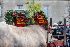 15-Les boeufs de Berger - Photo of Gajac