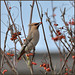 Waxwing (image 1 of 3) by Full Moon Images