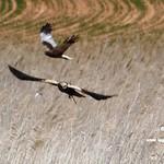 Aves en las lagunas de La Guardia (Toledo) 7-4-2019