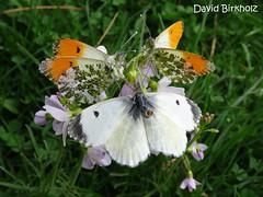 Papillon Saarbrücken