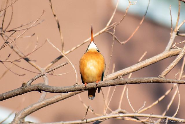 20190119-kingfisher-DSC_0611