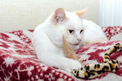 Corinto, gatito siamés Red Point muy guapo, esterilizado tímido y bueno nacido en Octubre´18, en adopción. Valencia. 47150224211_62bc52f6bd