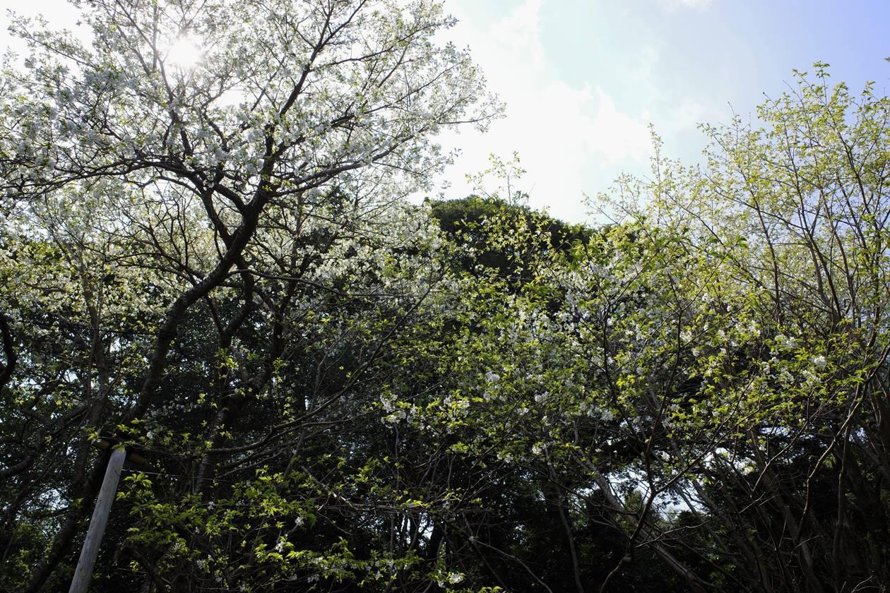 伊豆大島天然記念物・桜株 満開の桜
