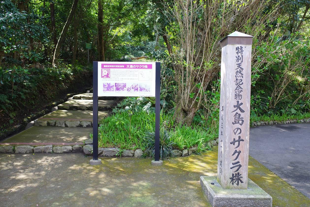 伊豆大島天然記念物「サクラ株」