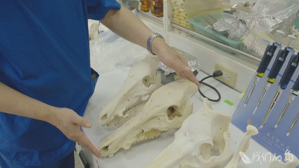 朱有田從考古遺址出土的豬骨中,分析豬的基因與遺傳特性。