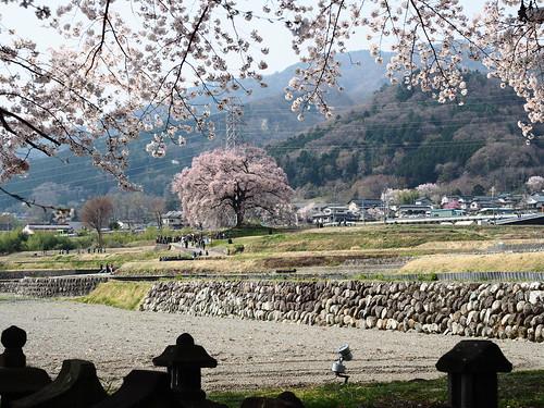 Cherry Blossoms(@Wanizuka)/桜(@わに塚)