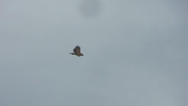 hawk hunts between the storms