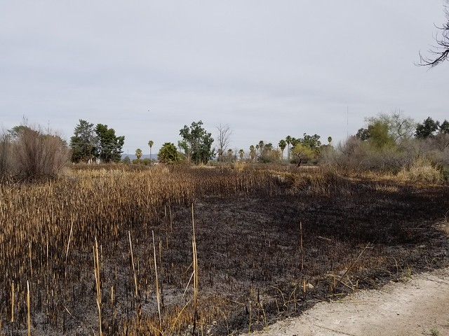 Sweetwater Wetlands apark.  Tucson, Arizona. March 2019. 3 days after prescribed burn.