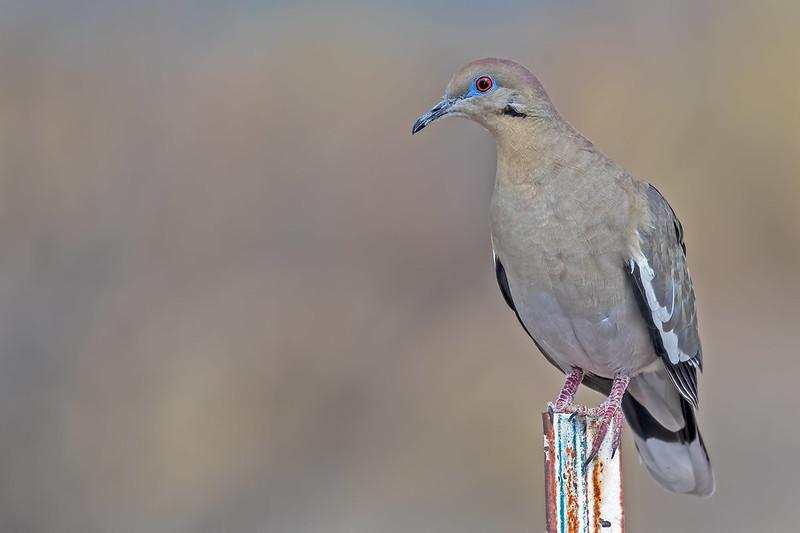 White-wing-Dove1-7D2-032719