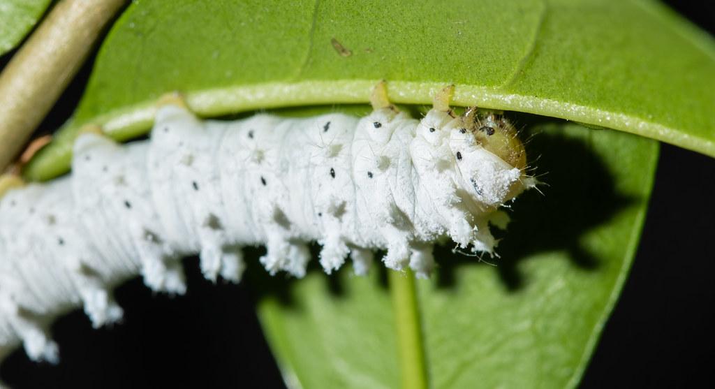 Eri Silkmoth Caterpillar_2