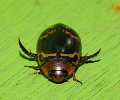 Water diving beetle Dytiscidae of Whitsunday Shire