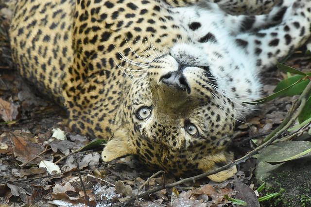 sri lanka leopard Panthera, Nikon D5500, Tamron SP 70-300mm f/4-5.6 Di VC USD (A005)