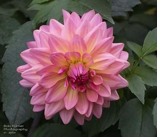 Dahlia Pink.