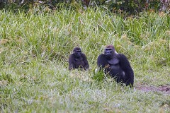 Western lowland gorillas at Langoue Bai in Ivindo National Park in Gabon
