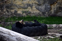 Sleepy Spectacled Bear