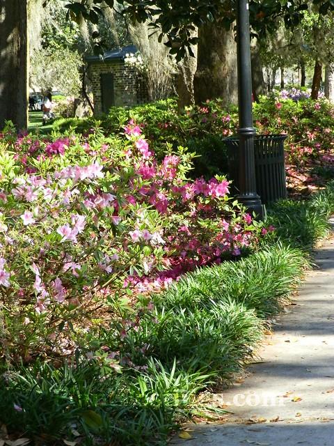 forsyth park azaleas