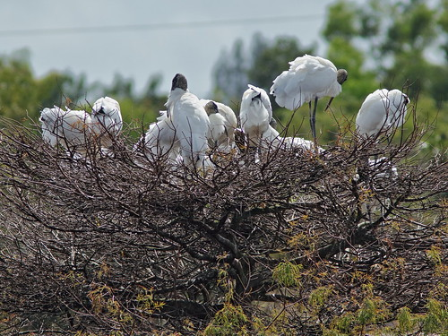 Wood Storks working on nests 20190212